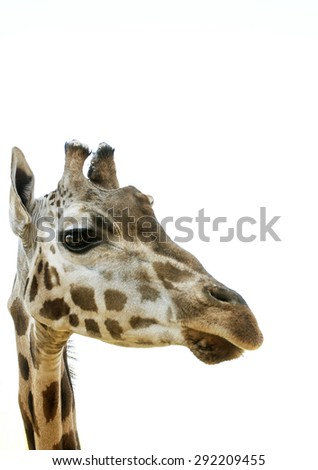 giraffe's head 	  on a white background