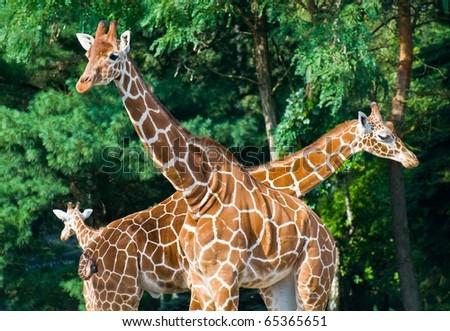 3 Giraffes family - stock photo