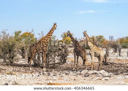 3 giraffes looking at the african elephant near Kalkheuwel waterhole in Etosha national park, Namibia. - stock photo