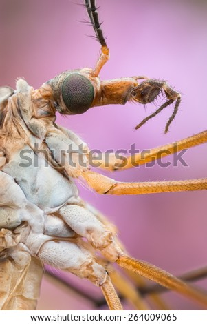 Gnat extrem close-up - common crane fly - stock photo