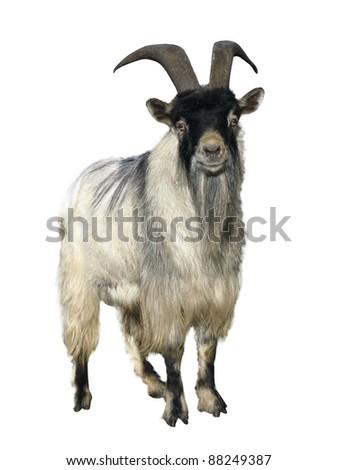 goat. Isolated over white background - stock photo