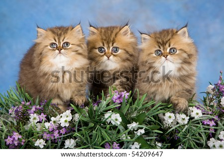 3 Golden Chinchilla Persian kittens with lavender flowers on blue background - stock photo