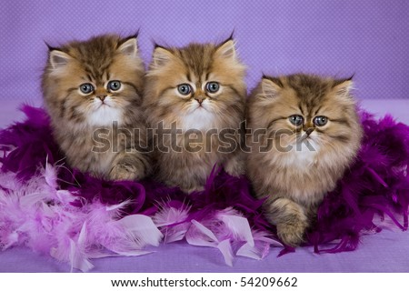 3 Golden Chinchilla Persian kittens with purple lilac boa feathers, on purple background - stock photo