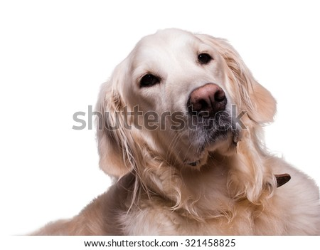 golden retriever dog sitting on isolated white background