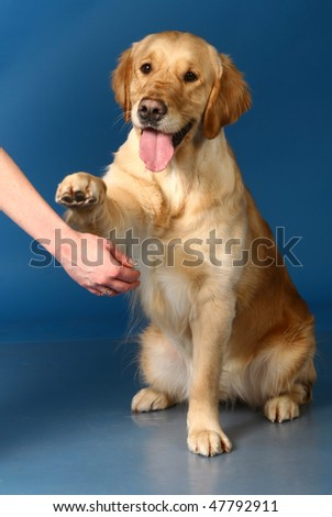 Golden retriever give a paw of a blue background - stock photo