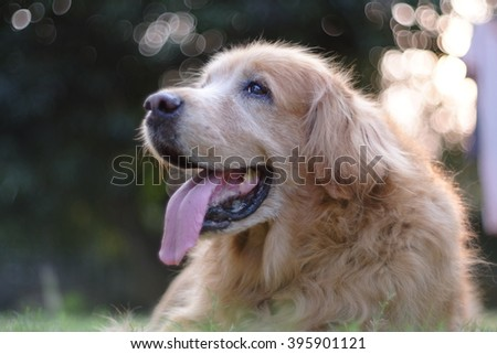 Golden retriever with lens flare