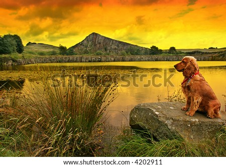 Golden Spaniel on lakeside rock as the sun sets Roman Wall in background in Northumberland England - stock photo