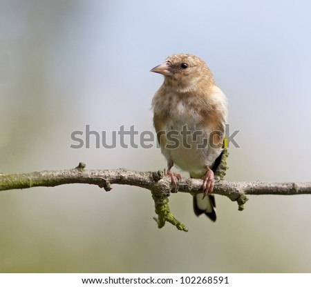Goldfinch, Juvenile, Carduelis carduelis - stock photo