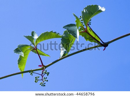 grapevine on background blue a sky - stock photo