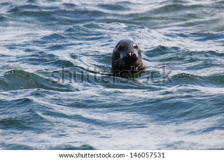 gray seals in water  - stock photo