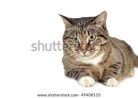 gray striped kitten  isolated - stock photo