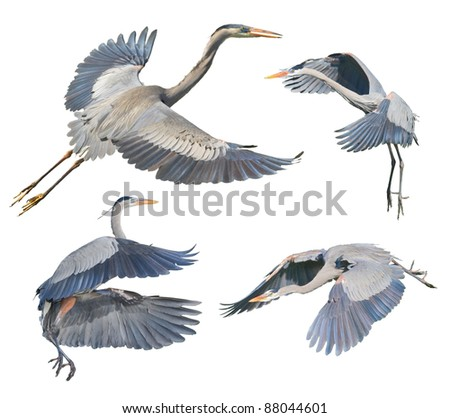 Great Blue Herons in flight, isolated on white. Latin name - Ardea heroida. - stock photo
