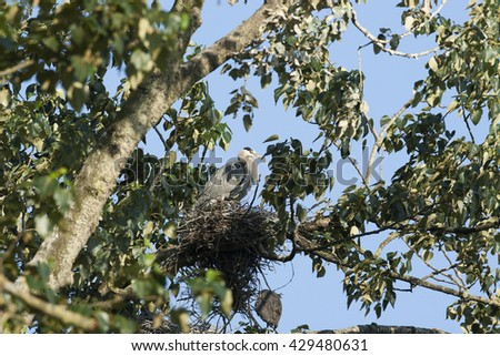Great Blue Herons In Nest Stretching  - stock photo