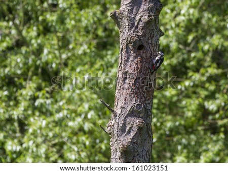 Great Spotted Woodpecker  (Dendrocopos major) going to the nest