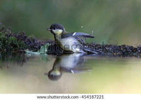 Great tit sits in the pond, Netherlands