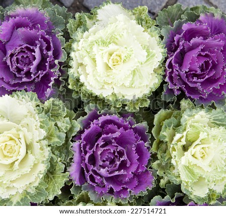 green and purple decorative cabbages  - stock photo