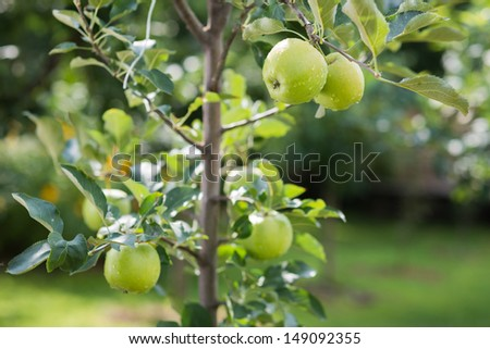 green apples on a branch in an orchard - stock photo