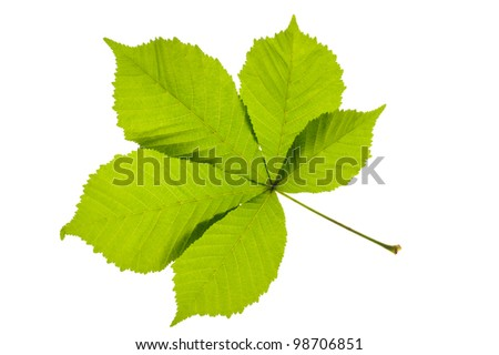 Green chestnut leaf isolated over white - stock photo