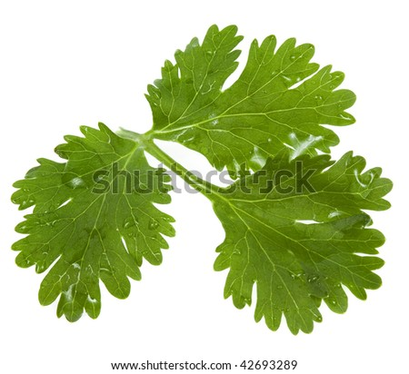 Green  cilantro coriander isolated on white background