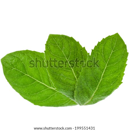 green fresh leaves mint isolated