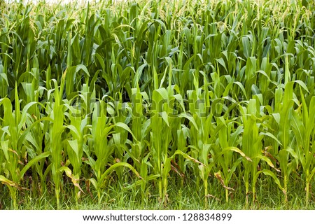 green leaves of the ripened corn. the background is shined with the sun - stock photo