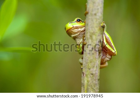 green little frog on the twig - stock photo