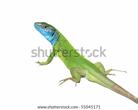 green lizard Lacerta viridis