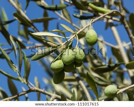 green olives on the olive tree desperate for water