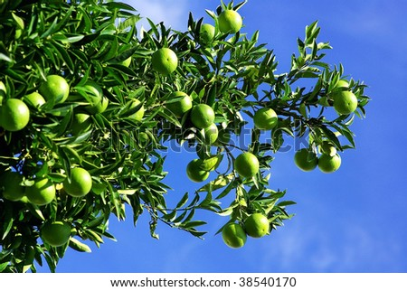 Green oranges on tree. - stock photo