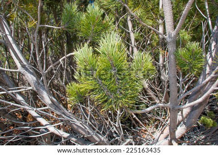 green pine trees on mountainside - stock photo