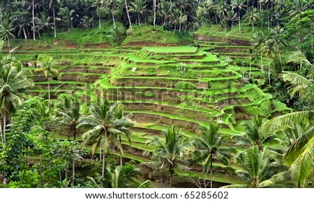 Green rice plantation terrace  in a middle of the jungle