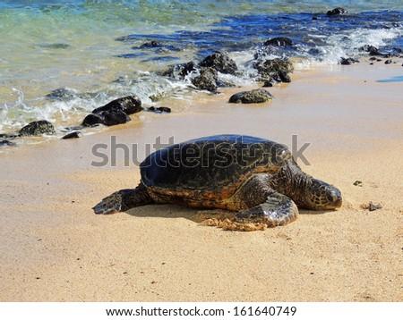 green sea Turtle on poipu beach, Kauai, hawaii - stock photo