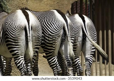 3 Grevy's Zebra's rears - stock photo