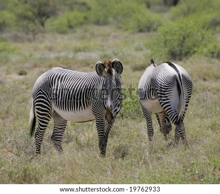2 grevy zebra - stock photo