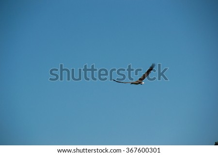 Grey Eagle flying in sky