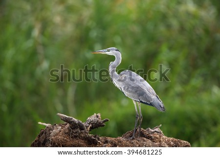 Grey Heron ( Ardea cinerea ) in natural habitat - stock photo