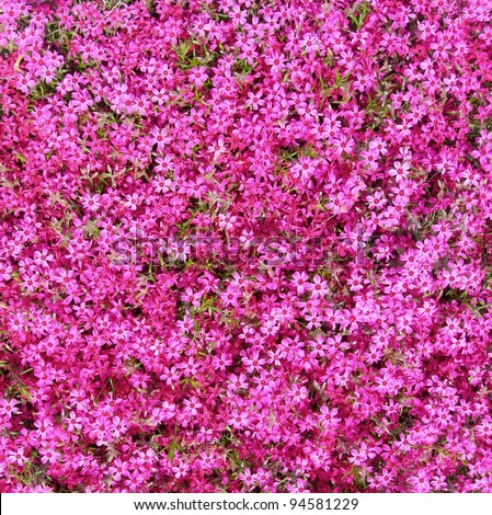 Ground cover hot pink flowers background stock photo download now ground cover with hot pink flowers as background mightylinksfo