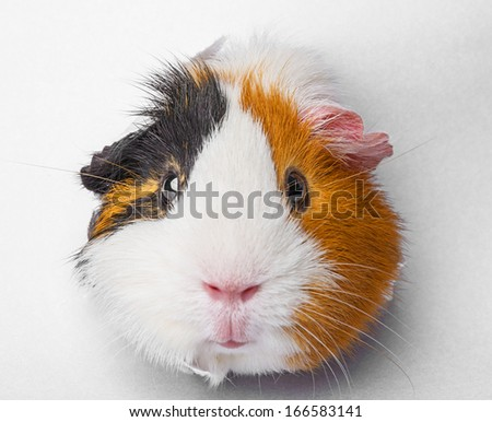 guinea pig looks through a hole in paper - stock photo