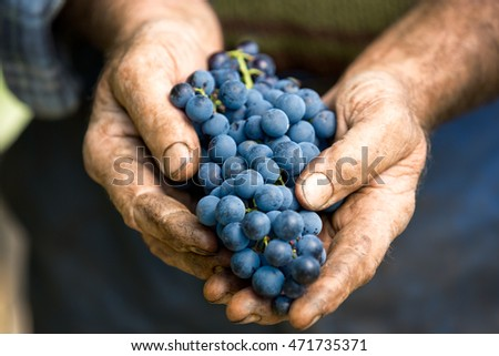 Hand holding fresh bunch of grapes in the vineyard