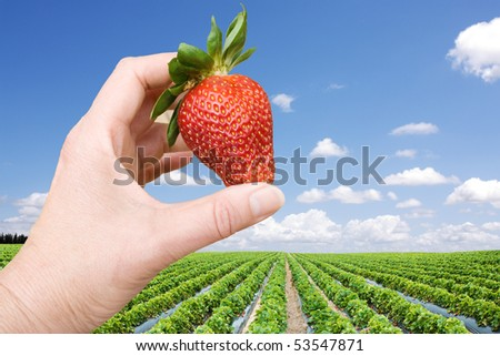 Hand with big strawberry, strawberry  field - stock photo