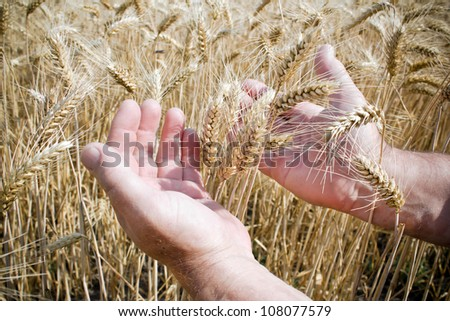 hands in a wheat field at shiny day