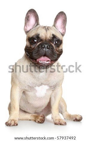 Happy puppy of the French bulldog sits on a white background - stock photo