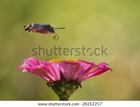 """Harrier"" - butterfly hovering over flower. - stock photo"