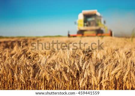 Harvester cropping the field.
