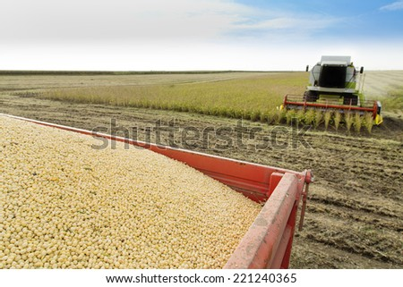 harvesting soybean at field, focus on soybean seeds - stock photo