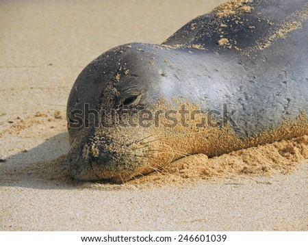 hawaiian monk seal  resting on poipu beach, Kauai, Hawaii - stock photo