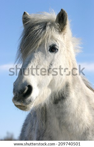 Headshot of a white pony wintertime. 	Close-up of a white horse against blue sky in paddock - stock photo