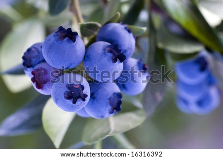 Heathberries/ blueberries ripening on the bush - stock photo
