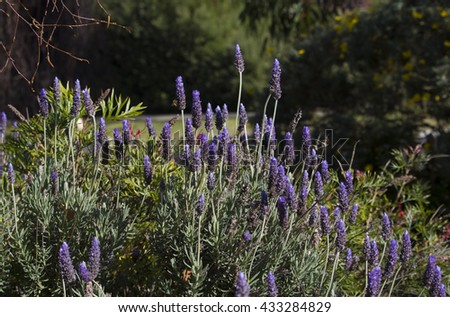 Heavily scented purple  flowers of English lavender lavandula officinalis  blooming in  the garden with their heavenly  fragrant  flower spikes are used in potpourris and cosmetics. - stock photo