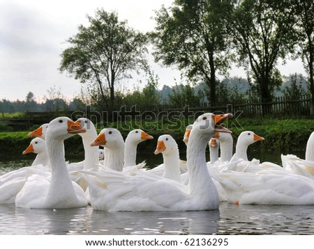 Herd of swiming white domestic geese in a pond - stock photo